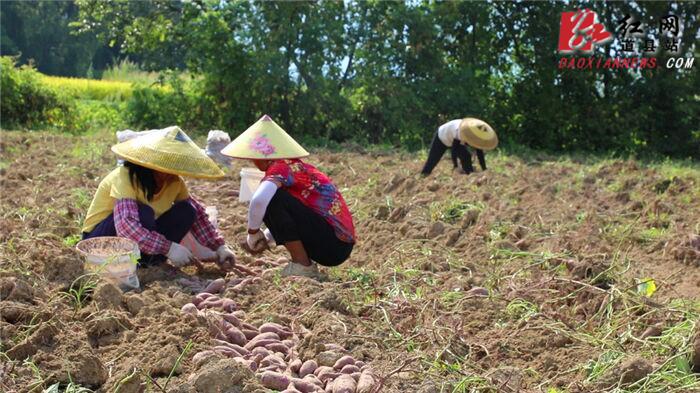 道县:紫薯定单种植助农增收(图1)
