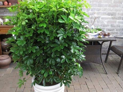1种漂亮的植物,摆放在室内美观大方,比发财树还好养