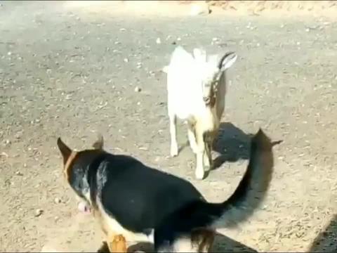 狗狗和山羊打架,山羊一要顶它狗狗就跑,最后山羊跑是什么套路