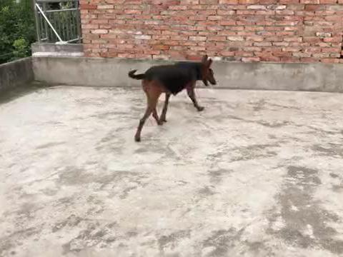 这种当地猛犬,它攻击性强咬合力好,看家护主抓野猪都特棒