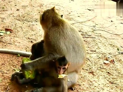母猴占有欲太强,小猴饿的不行,却连吃剩的也不能动