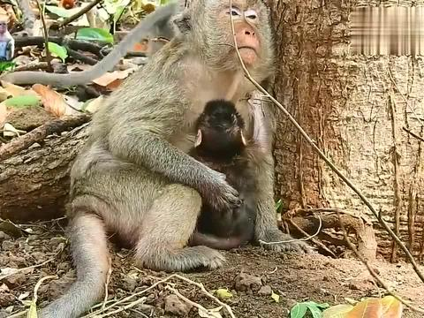 母猴蜷缩大树下,脸色惨白真的很难想象,在这之前它经历了什么