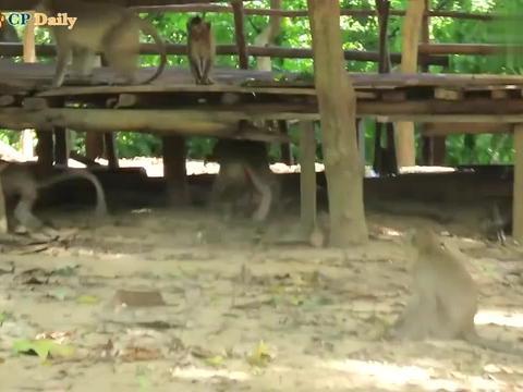 母猴万眼看着小猴走了,伤心欲绝,要把小猴子罗德岛的尸体抢走