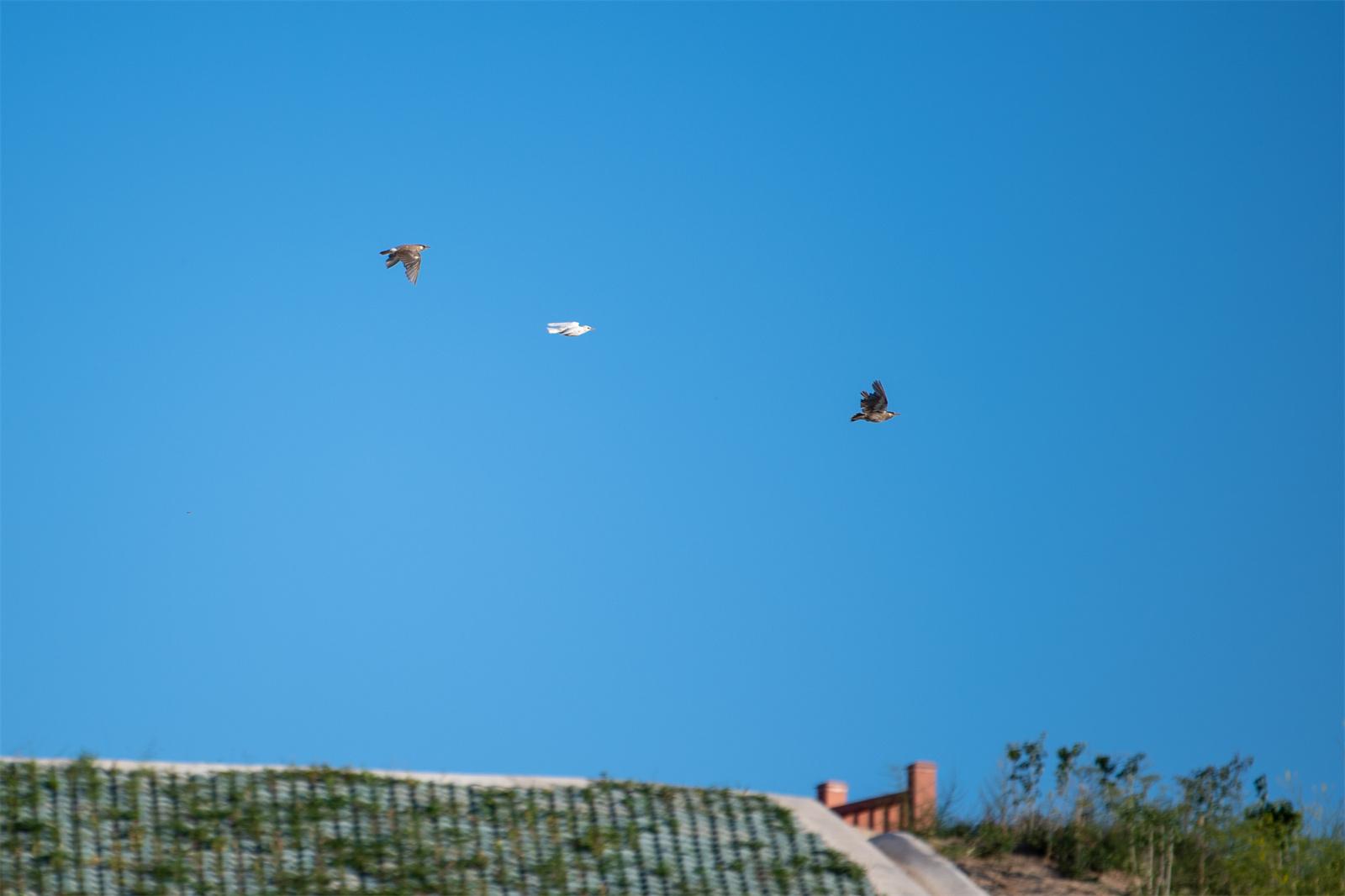 隆德发现纯白色灰椋鸟