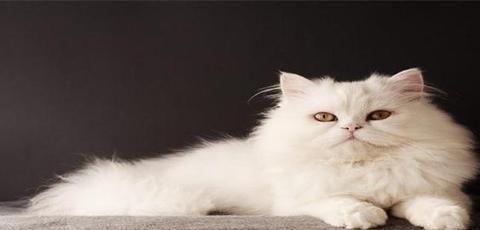 大多纯白的猫咪会很少见,认知度也是很高的,纯白猫咪有什么品种