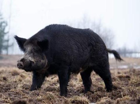 伤人毁庄稼,成祸害的野猪为何还被保护?专家:野猪价值农民不懂