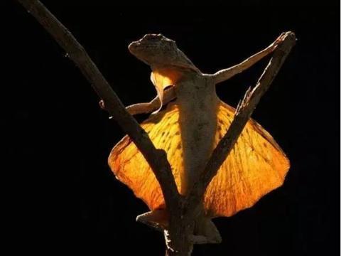 翼龙还活着?科学家发现一种奇怪蜥蜴,长着翅膀可以滑翔