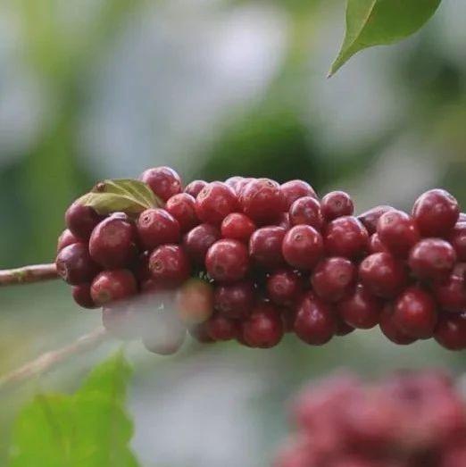 绿色食品牌|全链条重塑  打造世界一流咖啡产业