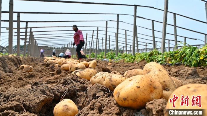河北昌黎15万亩马铃薯喜获丰收