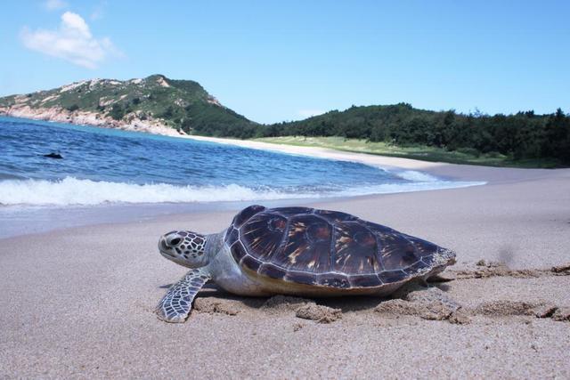 「惠州文脉·创想」聆听海龟湾往事 守护中国大陆海岸唯一海龟产床