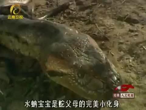 蟒蛇宝宝出生场景:密密麻麻的小蛇从蛋壳内爬出,令人头皮发麻!