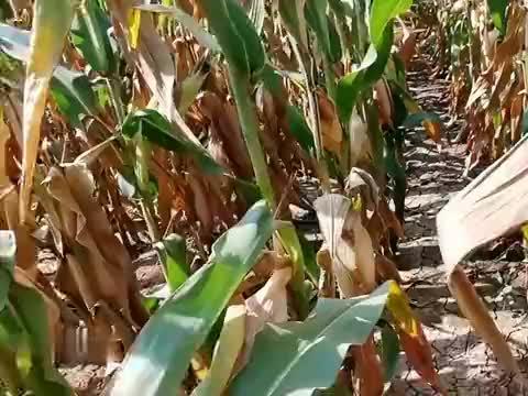 玉米高抗茎腐病,仅仅是抗病的底线:因为茎腐病好几种呢