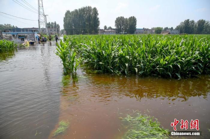 7月25日,河南浚县小河镇西王渡村,大片玉米地浸泡在水中。 中新社记者 张畅 摄