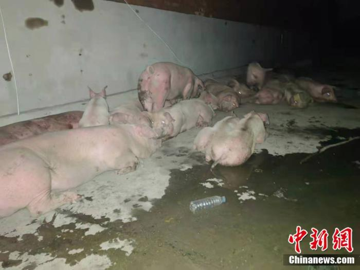 资料图:被转移出来的猪。 中新网 郎朗 摄
