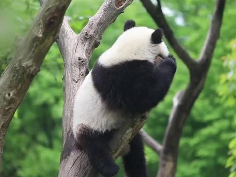 大熊猫玲琅找了个树杈坐下来,静静地享受春天