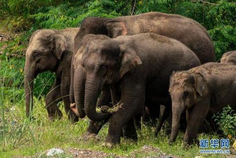 8月9日,象群在云南省玉溪市元江县境内的丛林中觅食。新华社记者 江文耀 摄