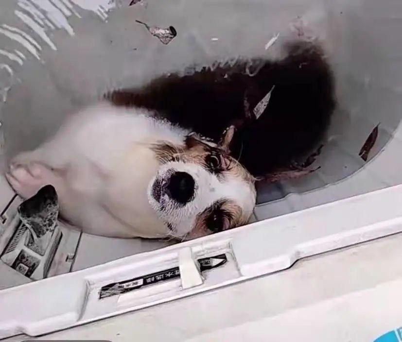 商丘学院一学生被指用洗衣机虐狗,校方:已报警