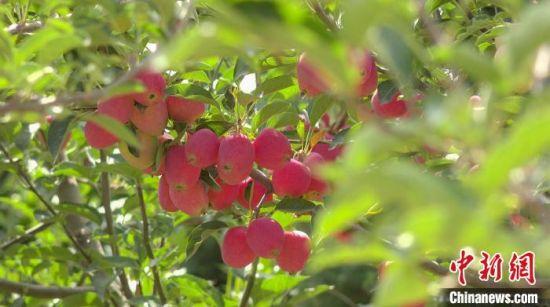 图为枝头的仙女果。 祁玲静 供图