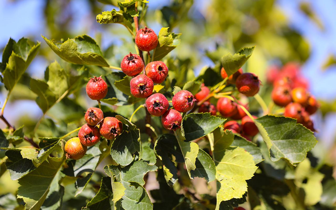 组图|深秋最爱山里红,树树挂满红灯笼