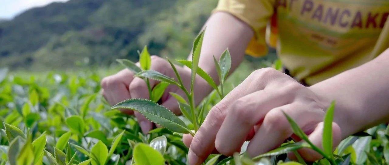 """重磅推出福建茶叶产业带活动,聚划算引爆""""喝茶赏月""""销售"""