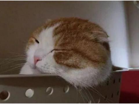 橘猫在盘子里睡着,主人凑近后画风突变,笑得直不起腰了!