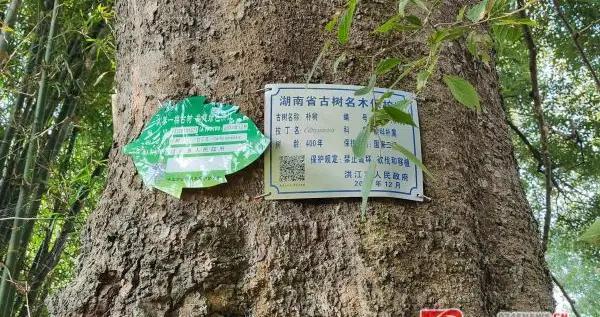 洪江市岔头乡:加强古树保护,守住绿水青山