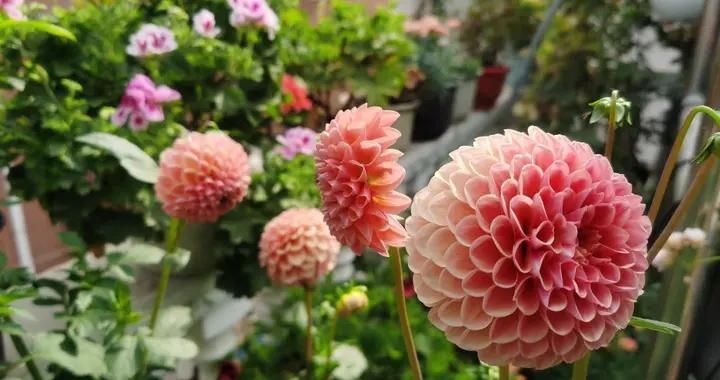 露台、小院可养一种花,花比碗口大花色鲜艳,开不停