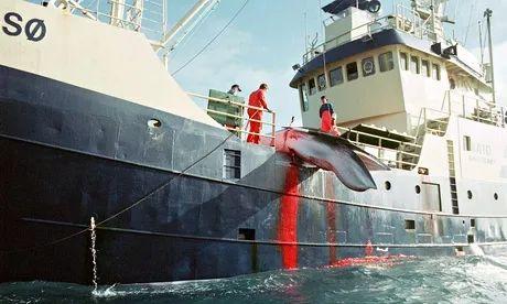 挪威和冰岛是唯一进行商业捕鲸的国家(图源:人民网)