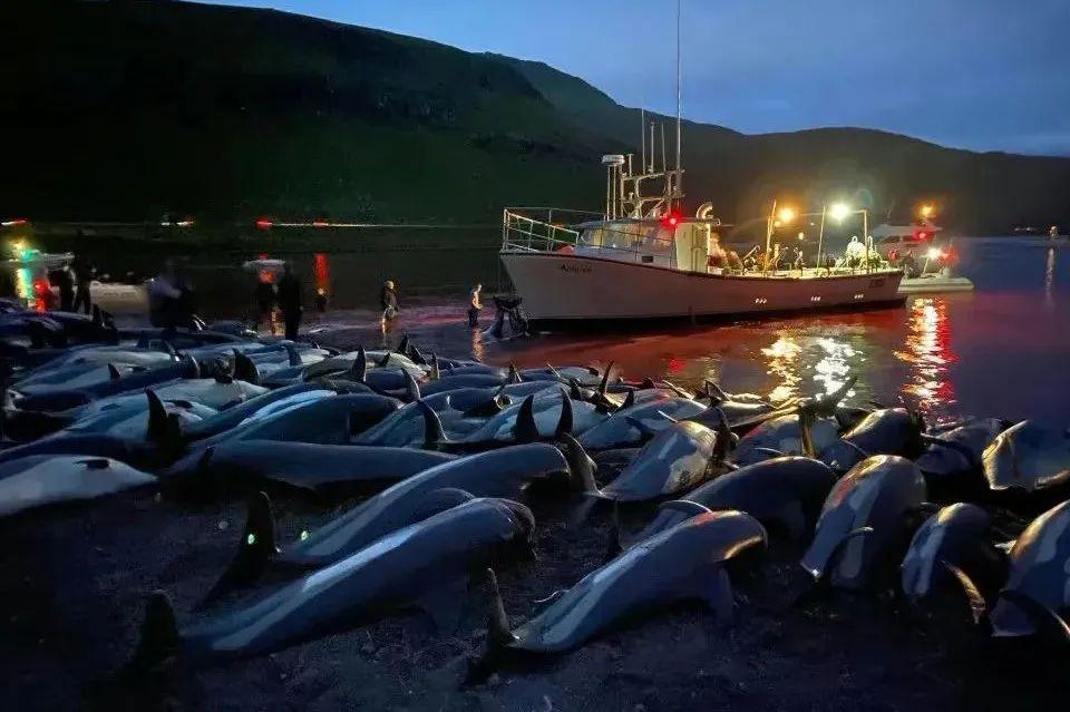海岸边被猎杀的海豚