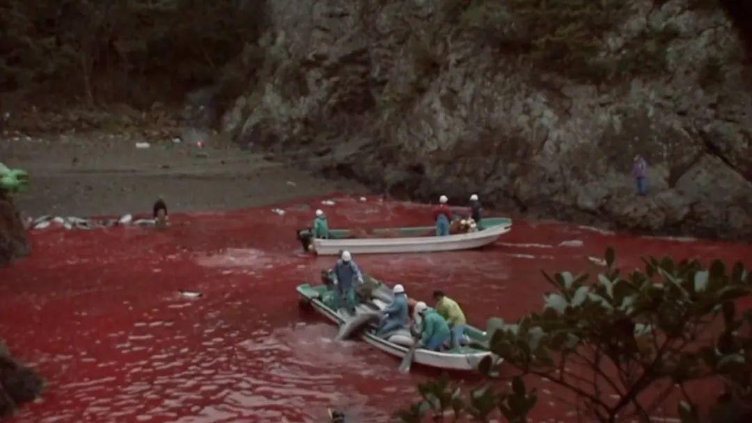 被海豚鲜血染红的海水(图源:纪录片《海豚湾》)