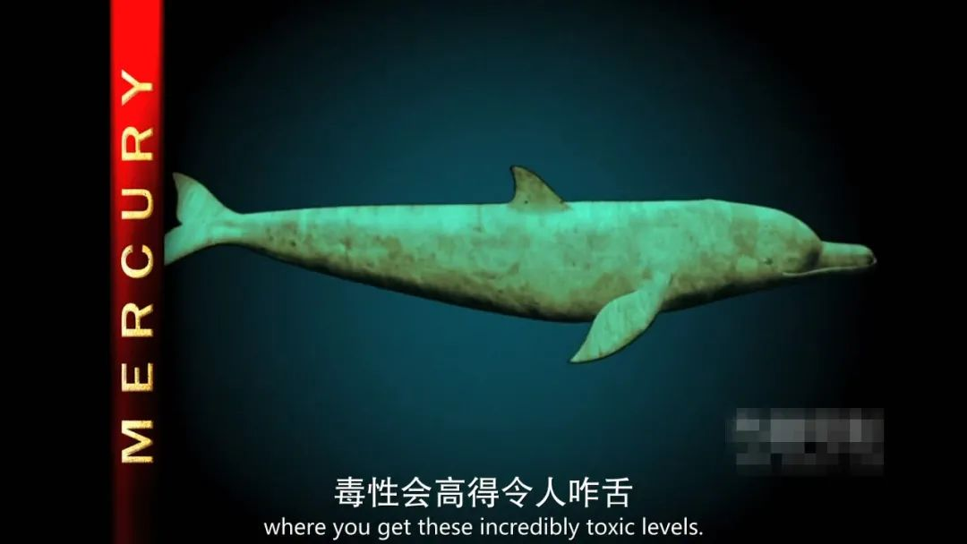 随着食物链等级的升高,鲸类体内的毒性高得令人咋舌(图源:纪录片《海豚湾》)