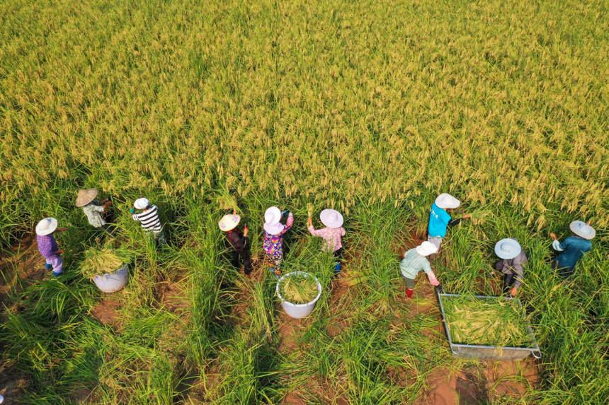 两米高的巨型水稻在重庆 大足开割
