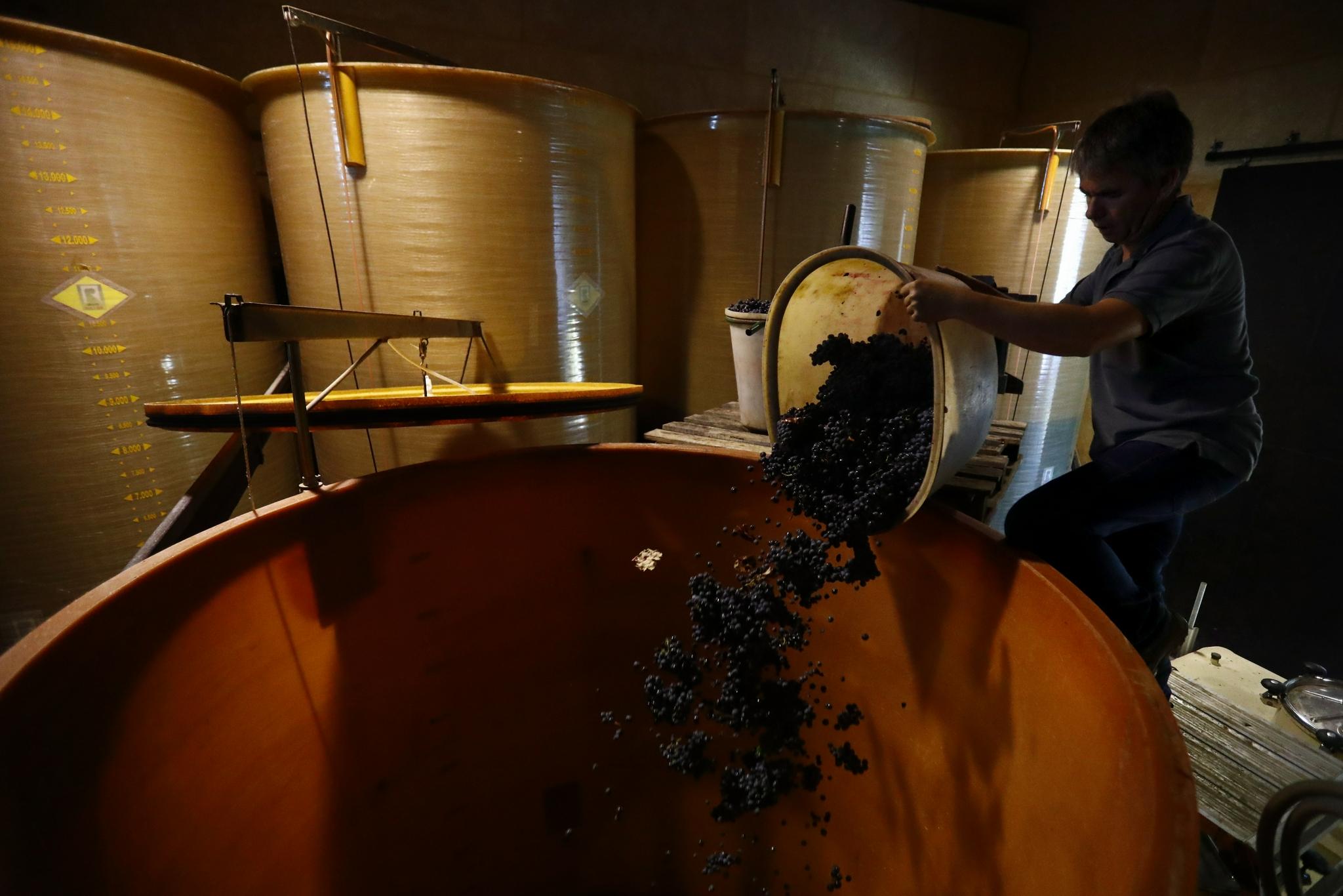 法国:收获酿酒葡萄