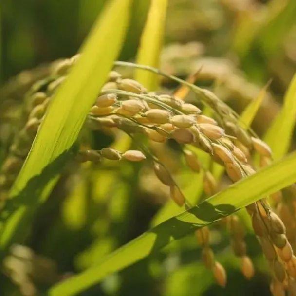 新疆实现盐碱地种植优质水稻新突破