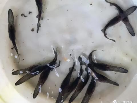 钱塘江渔民捕捉到一条怪鱼,鱼嘴长了个鸭子嘴,是外来物种鸭嘴鲟