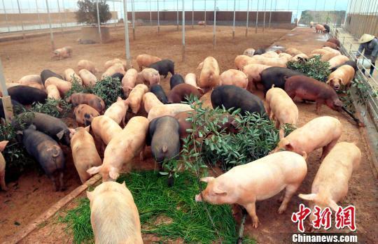 资料图:数十头肥猪在啃食树叶和青草。 王成前 摄