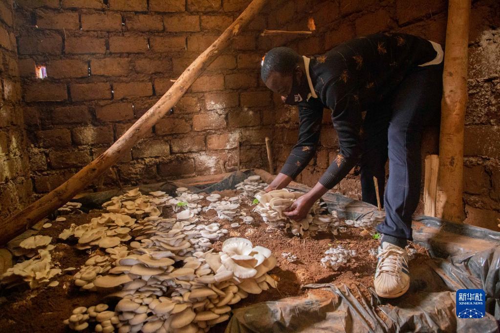 2020年9月9日,在卢旺达首都基加利,埃马纽埃尔·阿希马纳收获食用菌。阿希马纳在中国专家指导下掌握了菌草技术。新华社发(西里尔·恩德格亚摄)