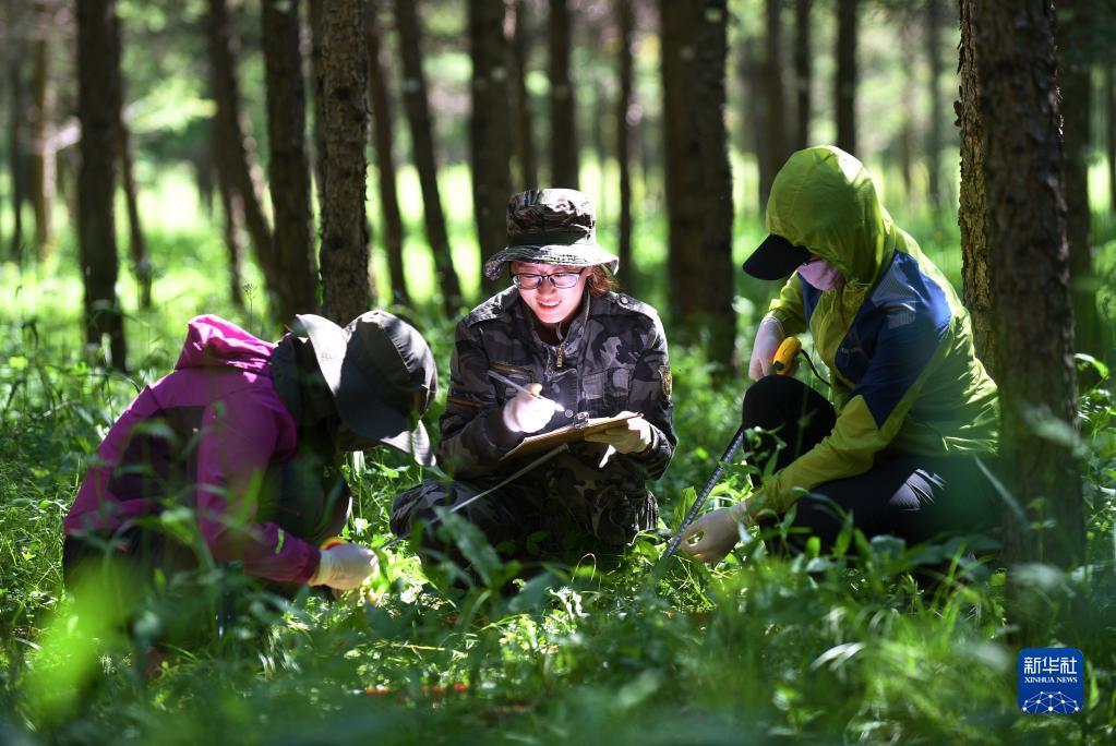 工作人员在河北塞罕坝机械林场采集数据(2017年7月12日摄)。新华社记者 王晓 摄