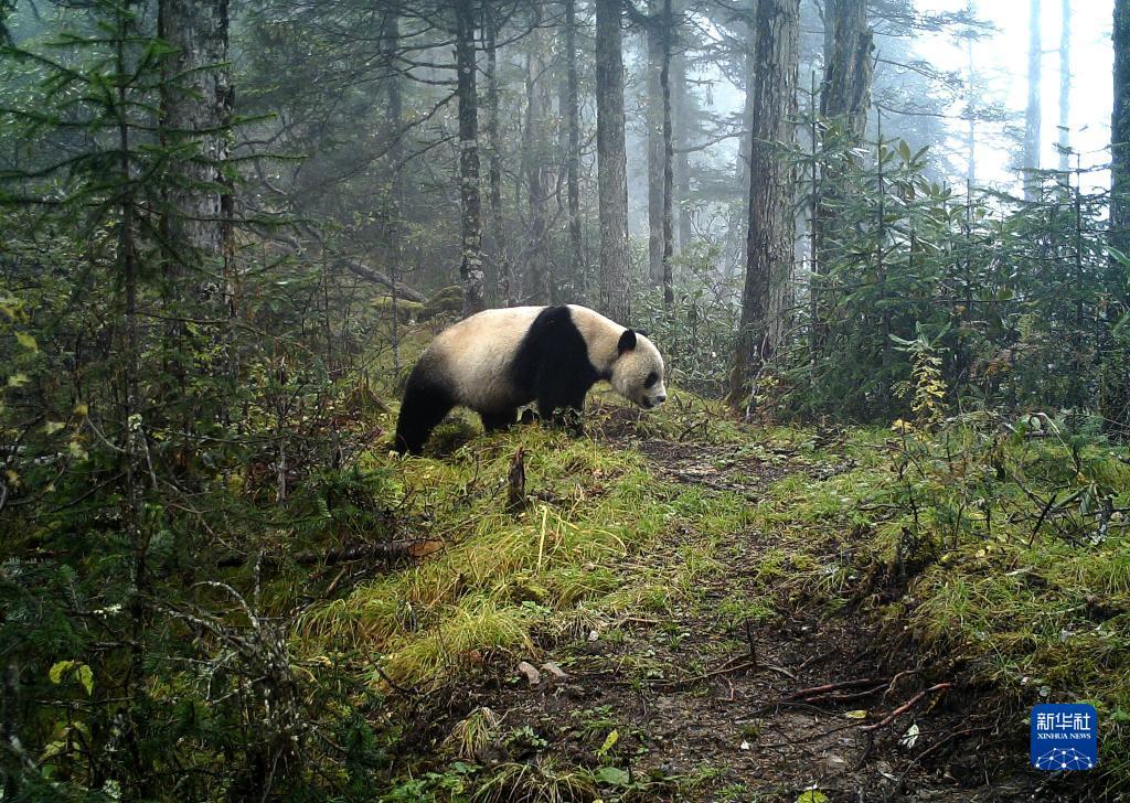 这是大熊猫国家公园甘肃白水江片区的红外相机拍摄到的野生大熊猫活动画面(资料图片)。新华社发(甘肃白水江国家级自然保护区管理局供图)