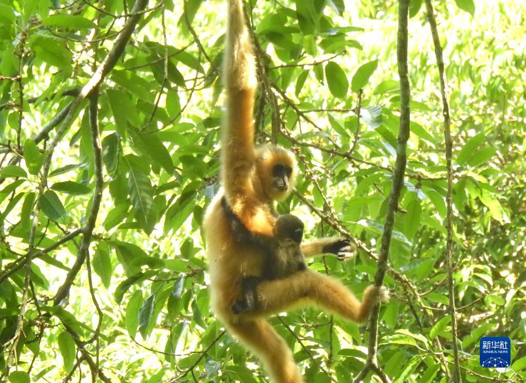 这是2021年5月拍摄的海南长臂猿B群幼猿。新华社发(海南热带雨林国家公园管理局供图)