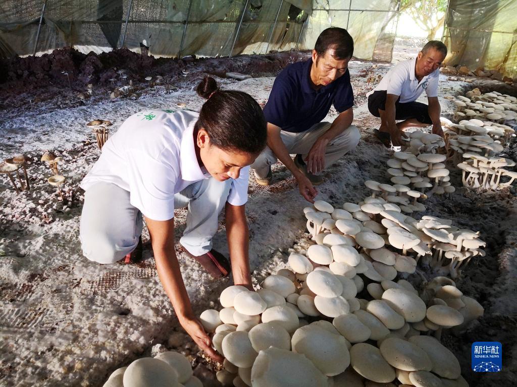 2018年6月12日,在斐济楠迪,中国专家和当地雇员检查菌菇生长情况。新华社记者张永兴摄