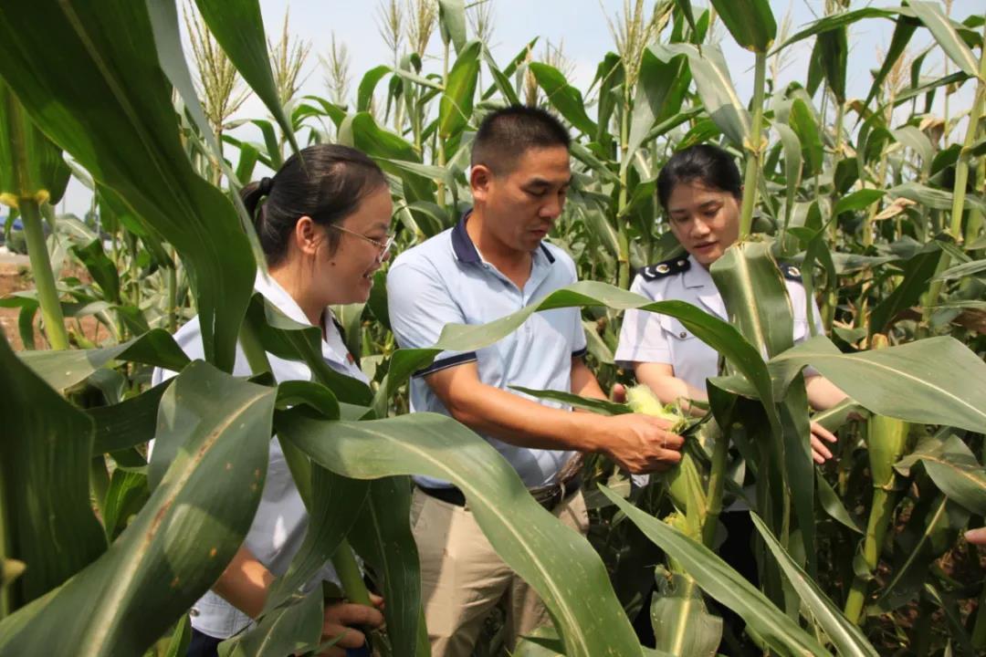 横州市:减税费优服务 为甜玉米产业赋能添力