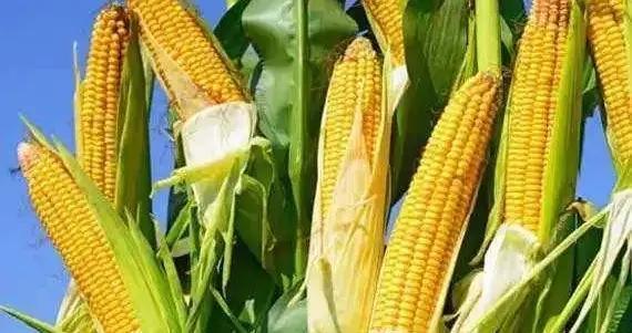 埇桥区玉米价格同比涨幅明显