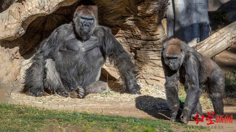 美国加州圣地亚哥野生动物园至少三只大猩猩已被确诊感染新冠病毒。图据圣地亚哥野生动物园