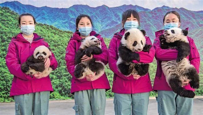 """1月12日,秦岭大熊猫钻研中央饲养人员展现可喜欢的3只雌性、1只雄性大熊猫宝宝。 本文图片微信公多号""""陕西发布"""""""