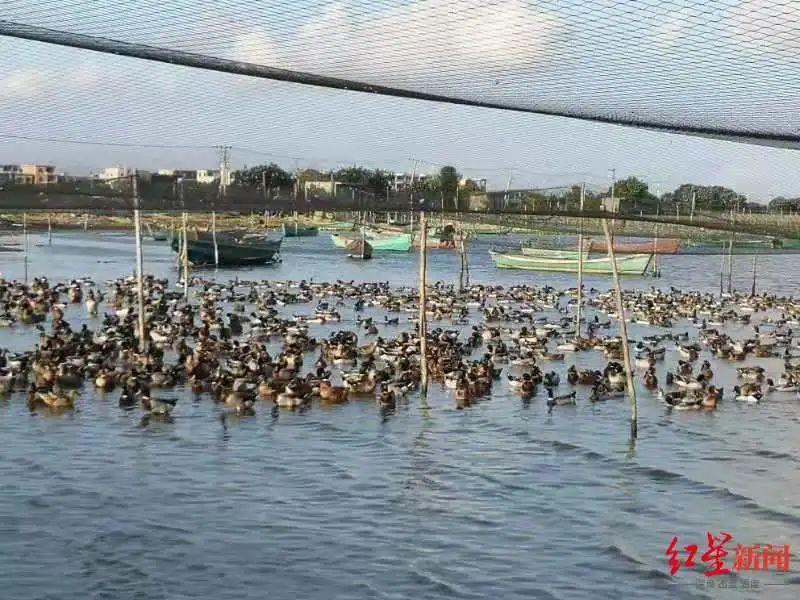 ▲陈进山养殖的海鸭