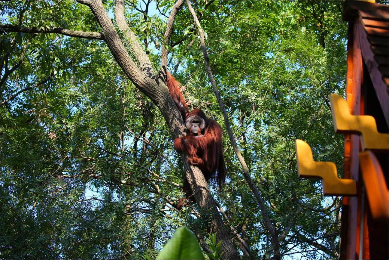 红猩猩是树栖动物,喜欢爬树。 南京红山森林动物园 图