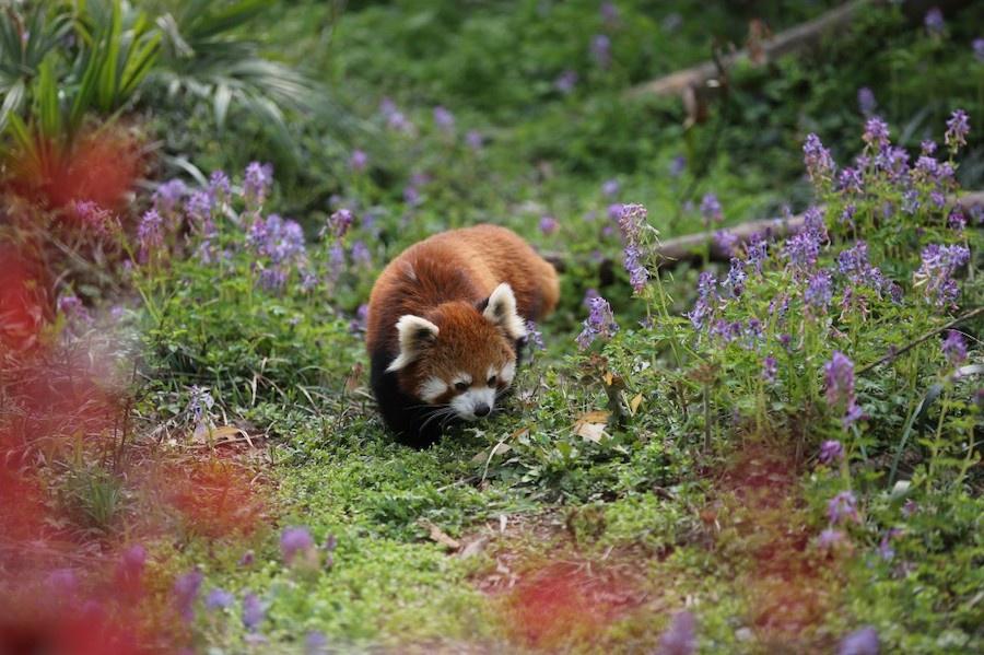 小浣熊 南京红山森林动物园 图