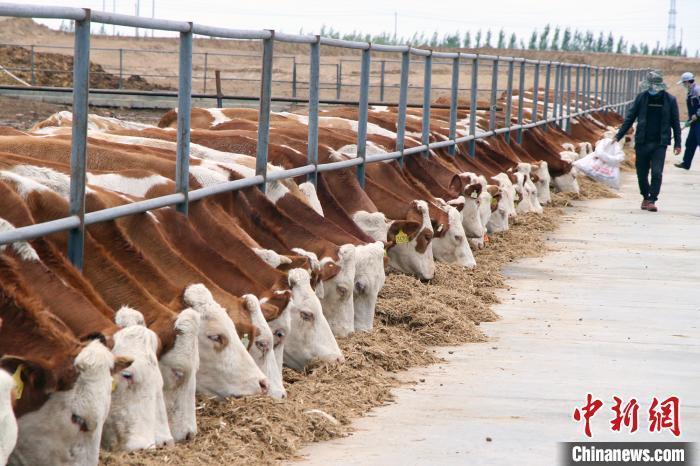 资料图:新疆阿勒泰市的一家畜牧养殖企业的育肥牛。 孙亭文 摄