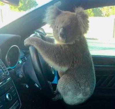 """澳大利亚高速路上5车连撞""""肇事者""""是只考拉"""